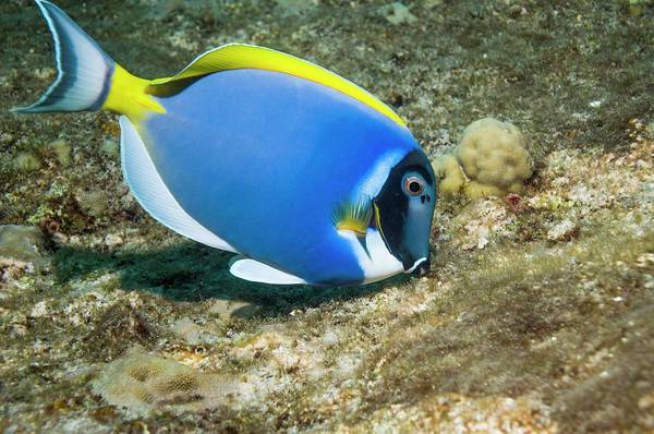 Wall Art - Photograph - Powderblue Surgeonfish by Georgette Douwma/science Photo Library