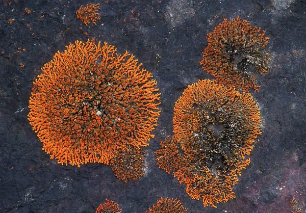 Orange Lichen Photograph - Powdered Orange Lichen by Kaj R. Svensson/science Photo Library