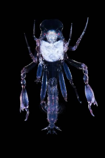 Wall Art - Photograph - Pram Bug Amphipod (phronima Sp.) by Alexander Semenov/science Photo Library