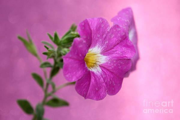 Petunias Photograph - Precious Pink by Krissy Katsimbras