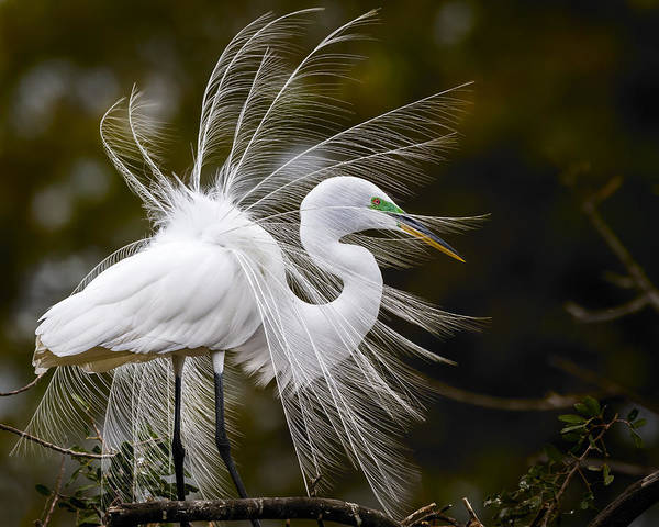 Egret Photograph - Pomp And Circumstance by Mike Lang