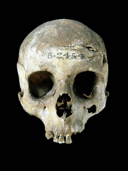 Homo Sapiens Photograph - Prehistoric Human Skull by Natural History Museum, London/science Photo Library