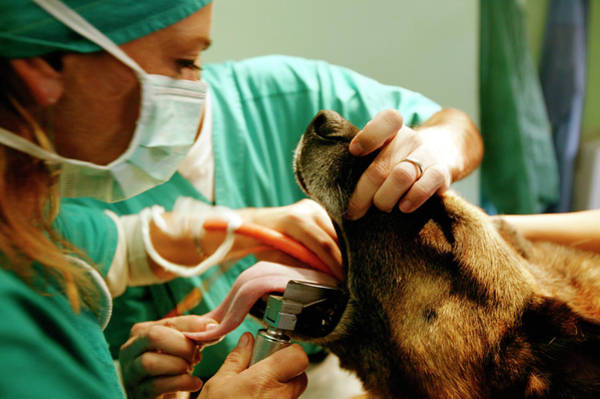 German Shepherd Photograph - Preparing A Dog For Surgery by Mauro Fermariello/science Photo Library