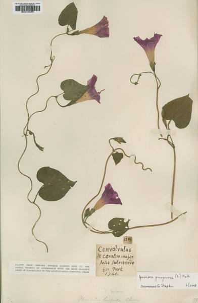 Wall Art - Photograph - Pressed Morning Glory (ipomoea Purpurea) by Natural History Museum, London/science Photo Library