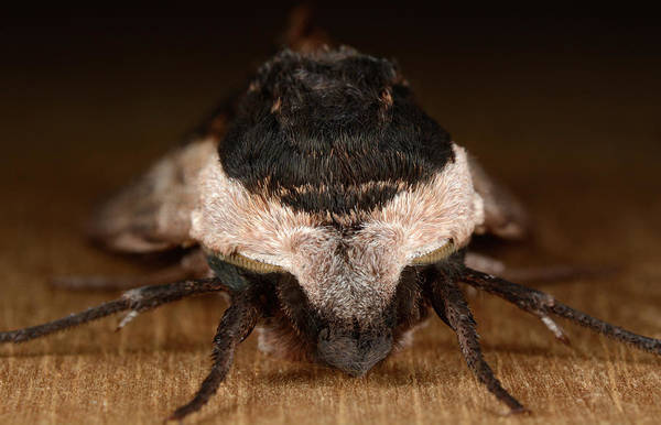 Norfolk Southern Wall Art - Photograph - Privet Hawk-moth by Nigel Downer