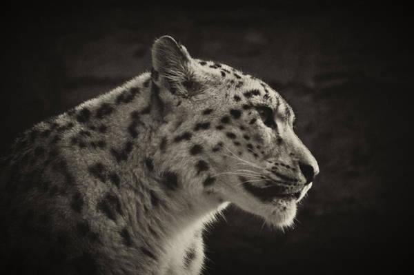 Photograph - Profile Of A Snow Leopard by Chris Boulton