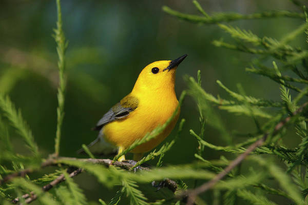 Bald Cypress Wall Art - Photograph - Prothonotary Warbler (prothonoteria by Larry Ditto