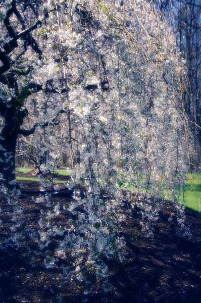 Wall Art - Photograph - Prunus Subhirtella 'pendula' by Maria Mosolova/science Photo Library