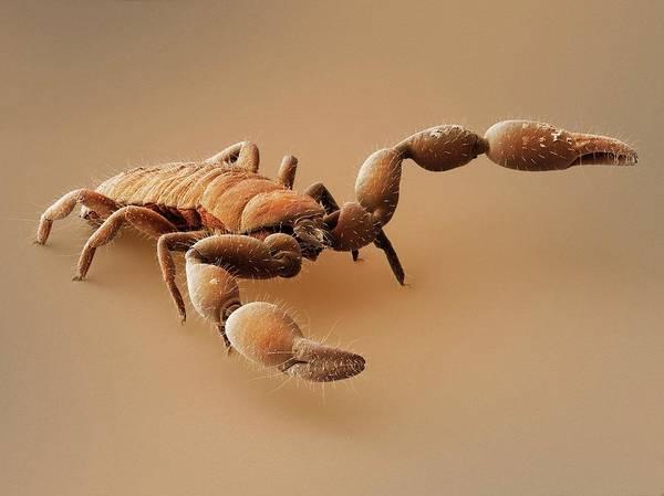 Arachnida Wall Art - Photograph - Pseudoscorpion (sem) by Power And Syred