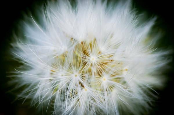 Dandelion Puff Photograph - Puff Ball Glacier National Park by Rich Franco