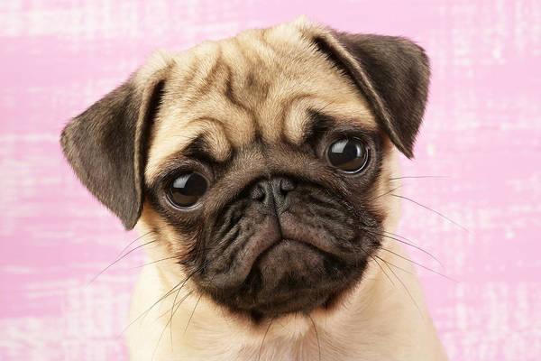 Pug Photograph - Pug Portrait by MGL Meiklejohn Graphics Licensing