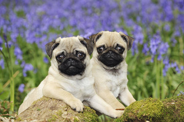 Photograph - Pug Puppies In Bluebells by John Daniels