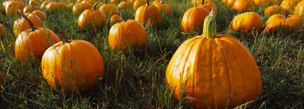Half Moon Bay Photograph - Pumpkin Field, Half Moon Bay by Panoramic Images