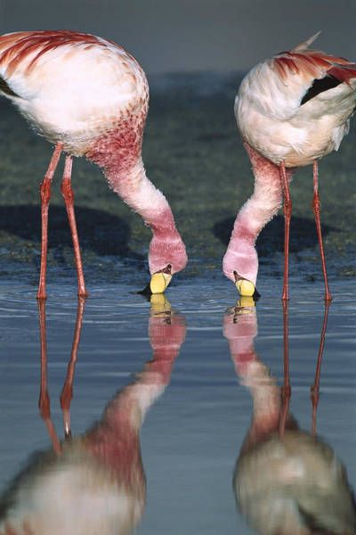 Photograph - Puna Flamingo Feeding In Laguna by Tui De Roy