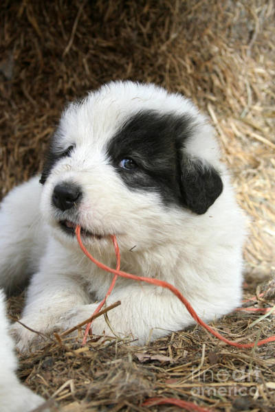 Great Pyrenees Photograph - pup by Dwight Cook