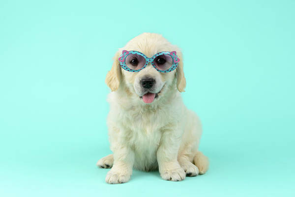 Sunglasses Painting - Puppu Sunglasses by MGL Meiklejohn Graphics Licensing