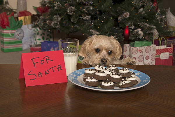 Photograph - Puppy Checking Out Christmas Cookies by Jim Vallee