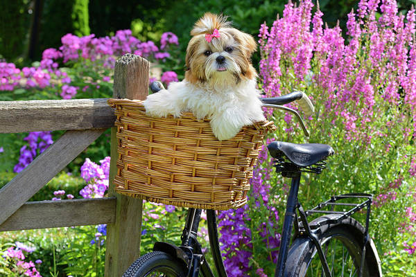 Wall Art - Painting - Puppy In Bike Basket by MGL Meiklejohn Graphics Licensing