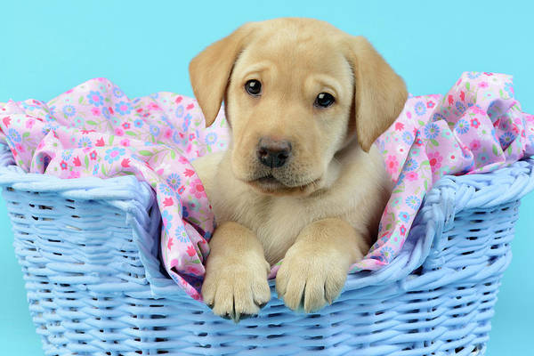 Wall Art - Painting - Puppy In Blue Basket by MGL Meiklejohn Graphics Licensing