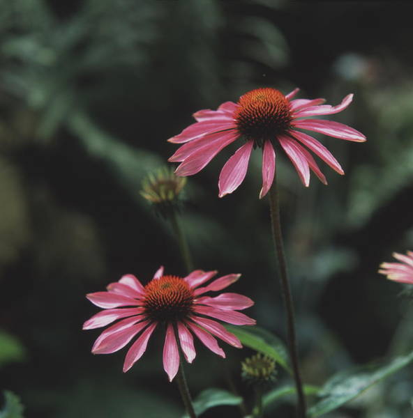 Medicinal Photograph - Purple Coneflowers by Sheila Terry/science Photo Library