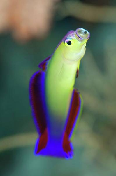 The Maldives Photograph - Purple Fire-goby by Scubazoo/science Photo Library