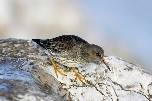 Sandpiper Photograph - Purple Sandpiper by John Devries/science Photo Library