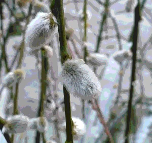 Wall Art - Photograph - Pussy Willows by Nicki Bennett