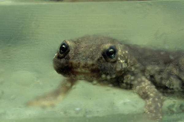 Asps Photograph - Pyrenean Brook Salamander by Philippe Psaila/science Photo Library