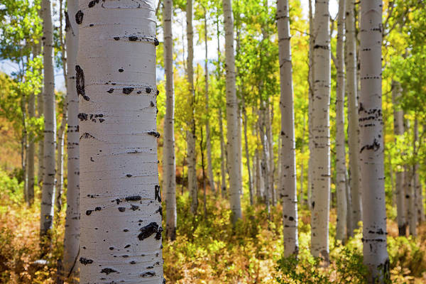 Steamboat Springs Photograph - Quaking Aspen (populus Tremuloides) In Autumn by Jim West/science Photo Library