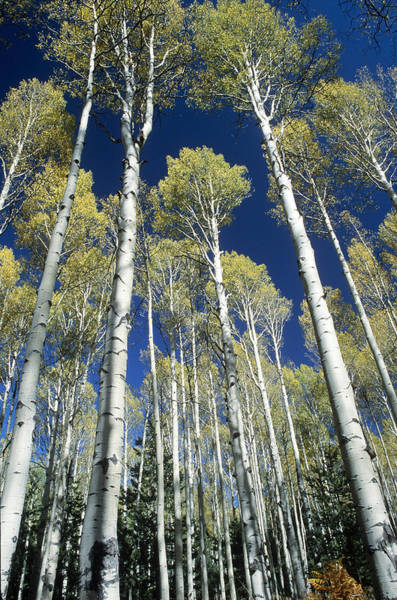Wall Art - Photograph - Quaking Aspens by Craig K. Lorenz