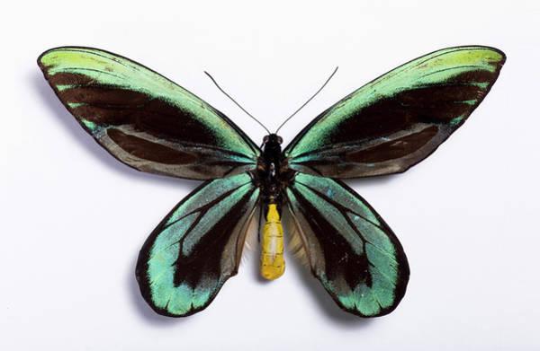 Wall Art - Photograph - Queen Alexandra's Birdwing by Pascal Goetgheluck/science Photo Library