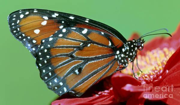 Pterygota Wall Art - Photograph - Queen Butterfly by Millard Sharp