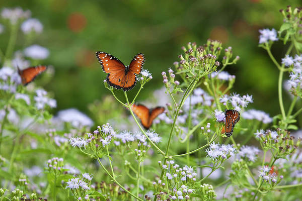 Hidalgo Photograph - Queen (danaus Gilippus by Larry Ditto