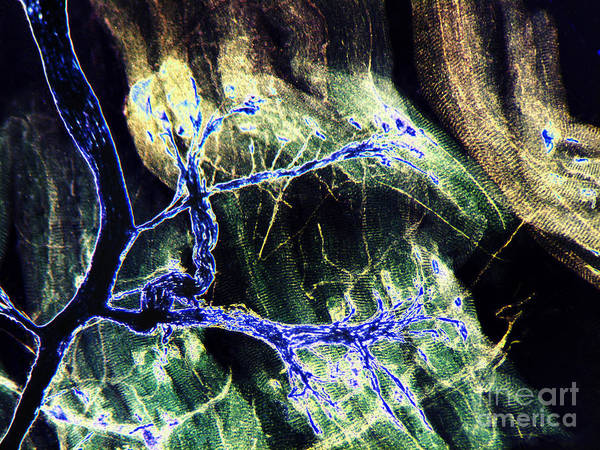 Photograph - Rabbit Neuron Nerve Ending Lm by Garry DeLong