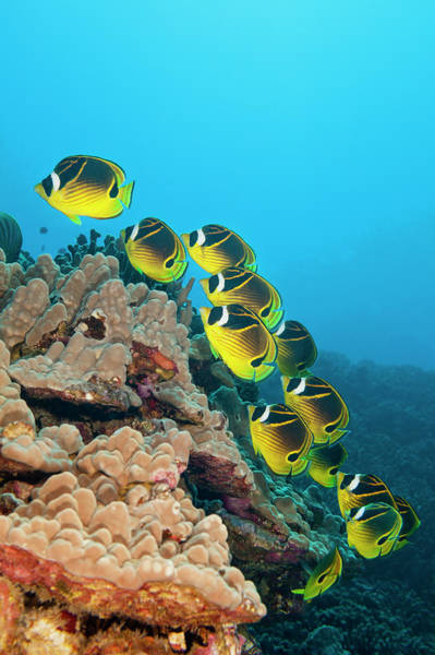 Raccoons Photograph - Raccoon Butterflyfish, Hawaii by Michele Westmorland