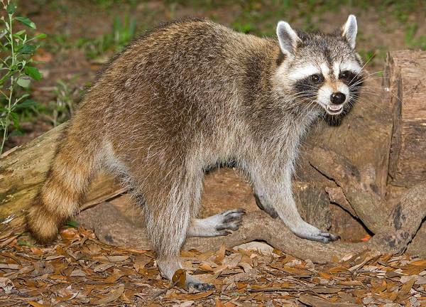 Wall Art - Photograph - Raccoon Procyon Lotor by Millard H. Sharp