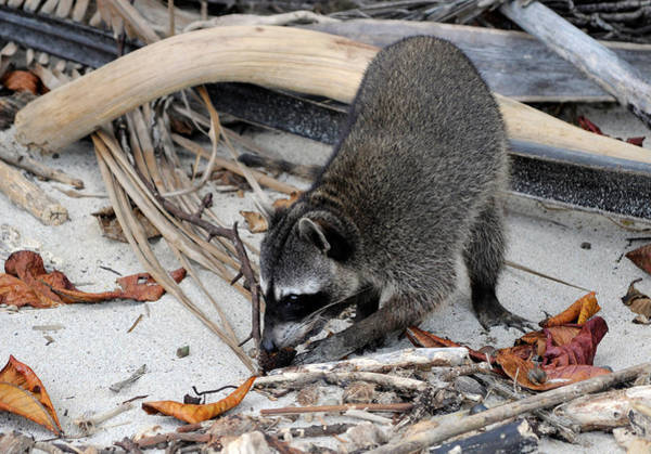 Wall Art - Photograph - Raccoon by Theodore Clutter