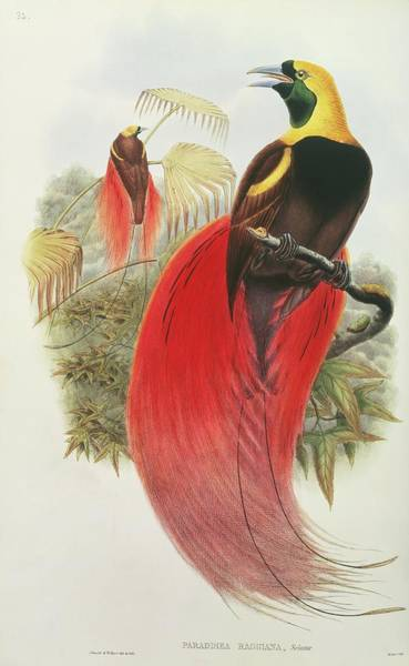 Lithography Wall Art - Photograph - Raggiana Bird Of Paradise by Natural History Museum, London/science Photo Library