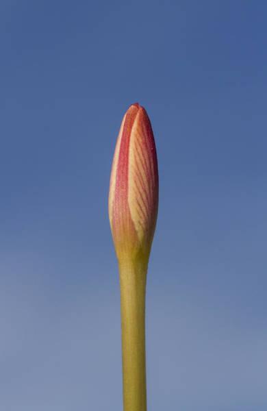 Photograph - Rain-lily Bud by Steven Schwartzman