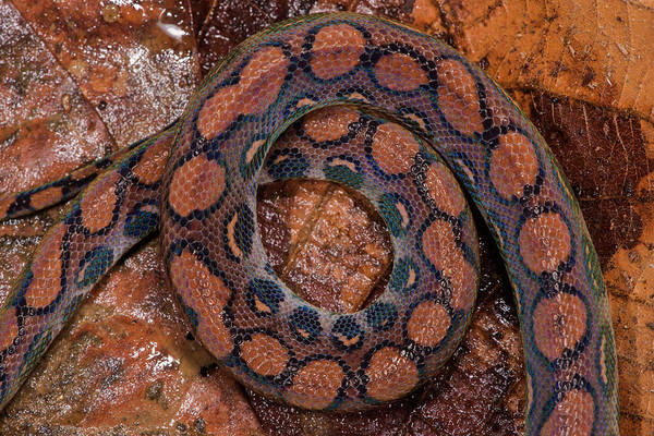 Ecuador Wall Art - Photograph - Rainbow Boa (epicrates Cenchria Cenchria by Pete Oxford