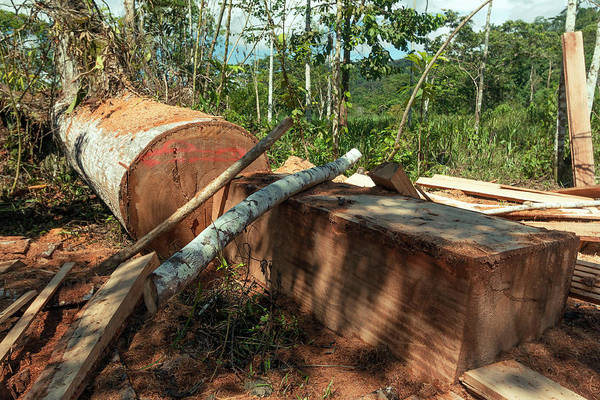 Ecuador Photograph - Rainforest Tree Cut For Planks by Dr Morley Read