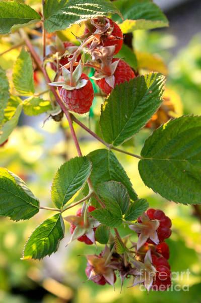 Photograph - Raspberries by Carol Groenen