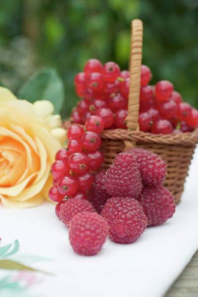 Wall Art - Photograph - Raspberries, Redcurrants In Basket And Yellow Rose On Table by Foodcollection
