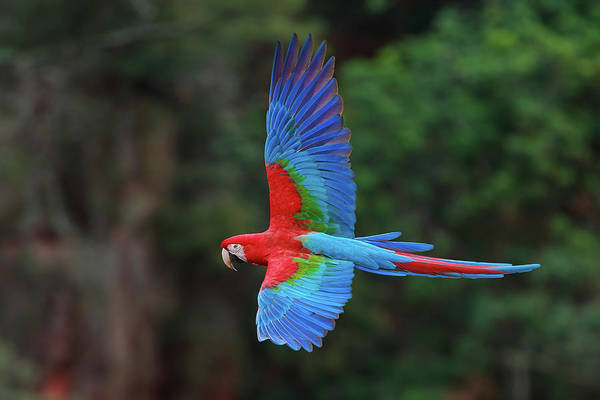 Animal Place Photograph - Red-and-green Macaws, Ara Chloroptera by Mint Images/ Art Wolfe
