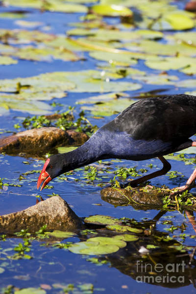 Bird Feeding Photograph - Red Billed Coot by Jorgo Photography - Wall Art Gallery