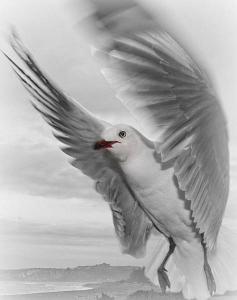 Twitcher Wall Art - Photograph - Red Billed Seagull  by Amanda Stadther