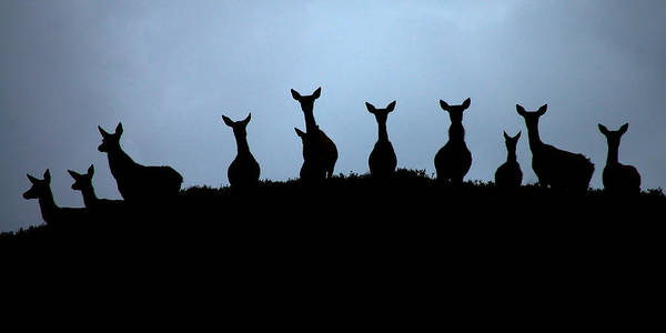 Photograph - Red Deer Hinds by Gavin Macrae
