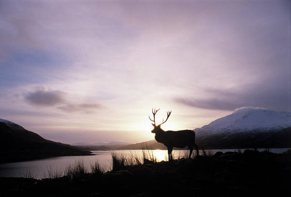 Cervus Elaphus Photograph - Red Deer Stag by Duncan Shaw/science Photo Library