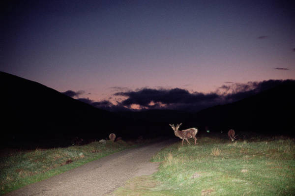Cervus Elaphus Photograph - Red Deer Stags by Duncan Shaw/science Photo Library