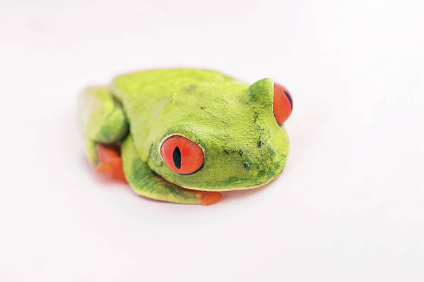 Wall Art - Photograph - Red-eyed Tree Frog by Nicolas Reusens/science Photo Library